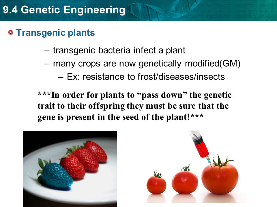Transgenic plants transgenic bacteria infect a plant. many crops are now genetically modified(GM) Ex: resistance to frost/diseases/insects.