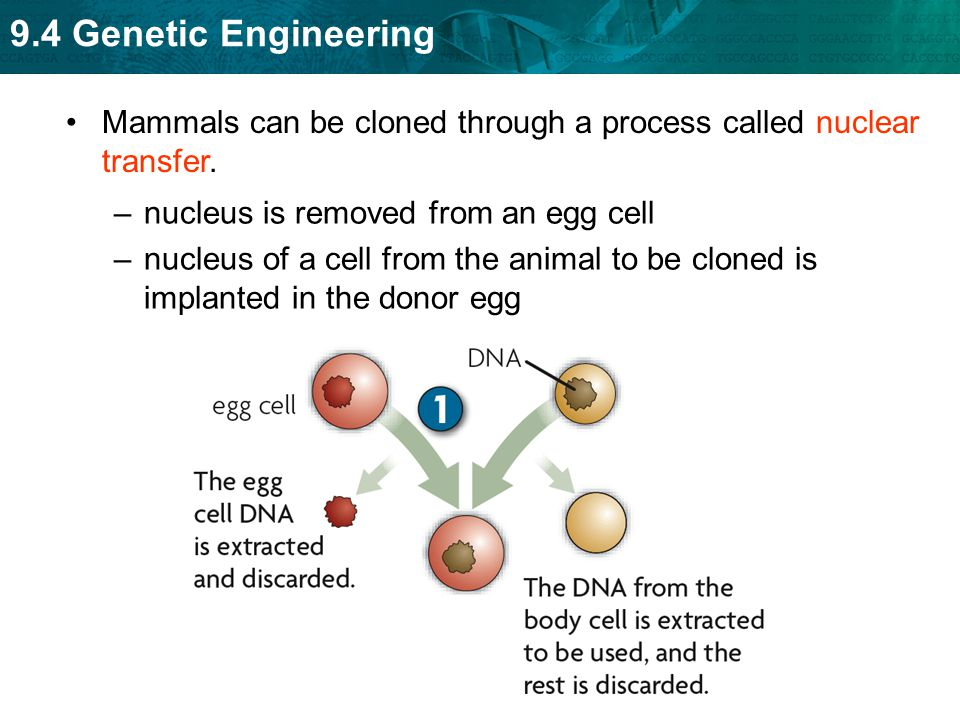 Mammals can be cloned through a process called nuclear transfer.