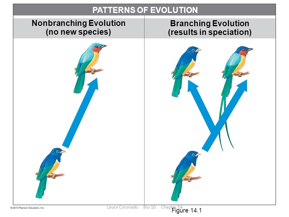 Nonbranching Evolution (results in speciation)