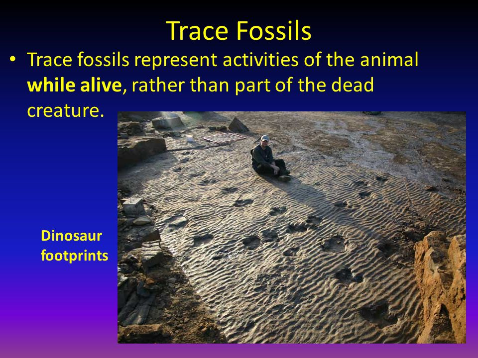 Trace Fossils Trace fossils represent activities of the animal while alive, rather than part of the dead creature.