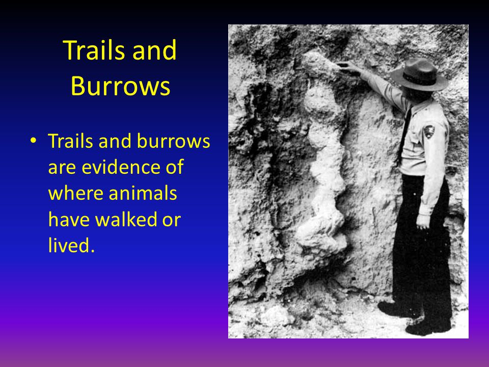 Trails and Burrows Trails and burrows are evidence of where animals have walked or lived.