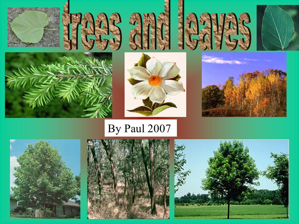 trees and leaves By Paul 2007