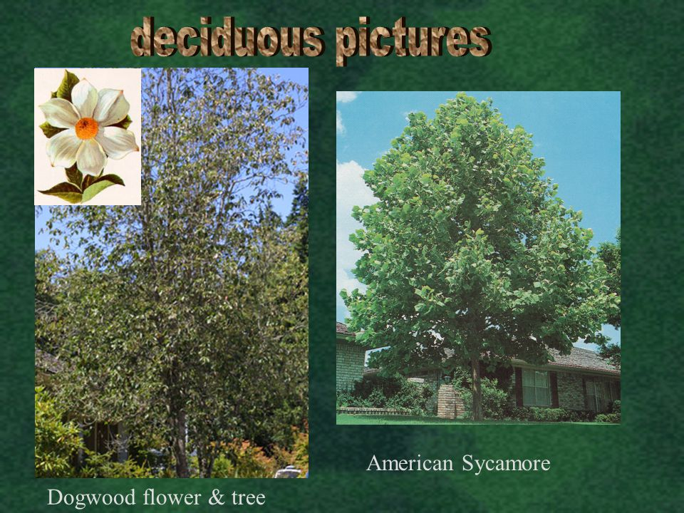 deciduous pictures American Sycamore Dogwood flower & tree