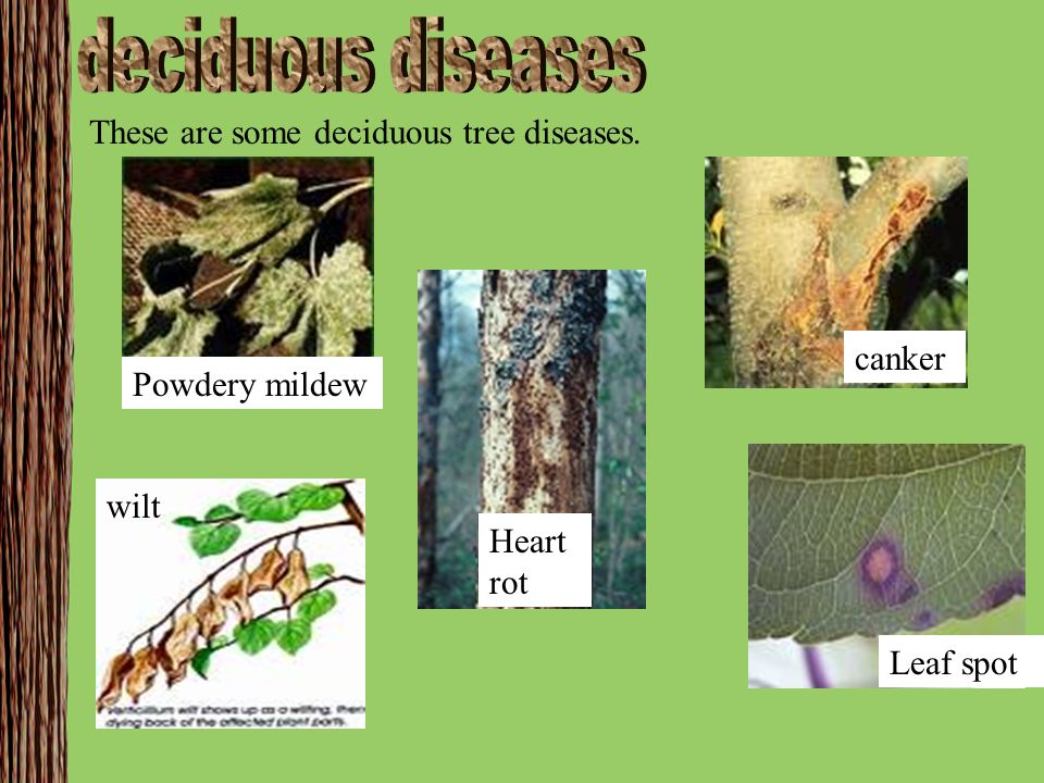 deciduous diseases These are some deciduous tree diseases. canker