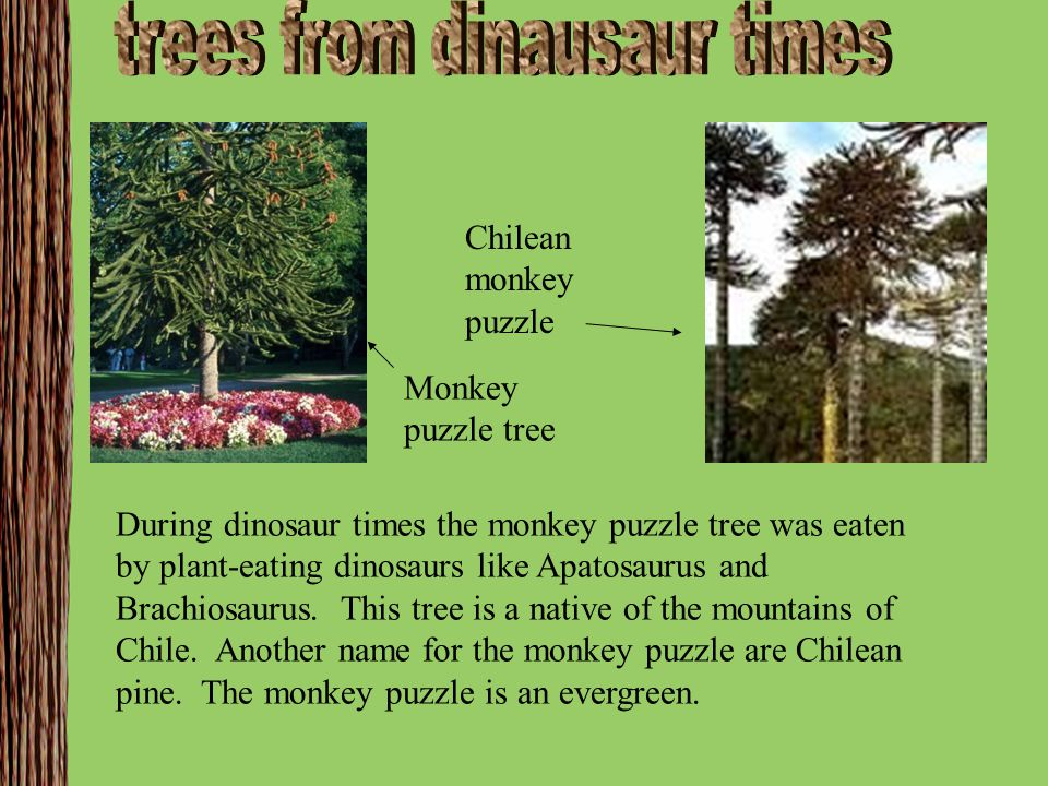 trees from dinausaur times