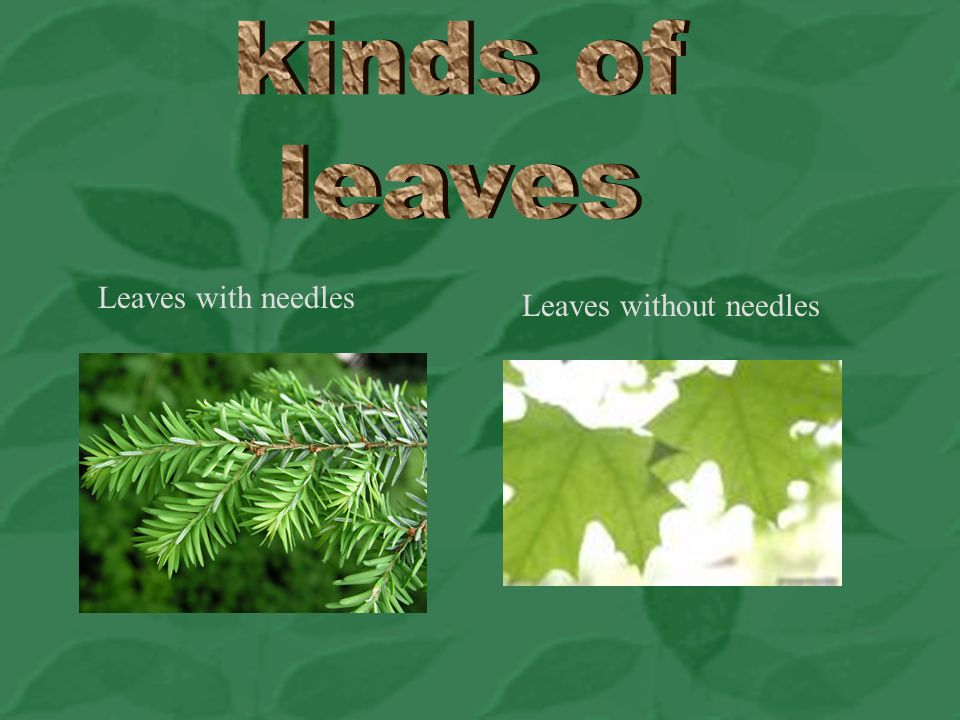 kinds of leaves Leaves with needles Leaves without needles