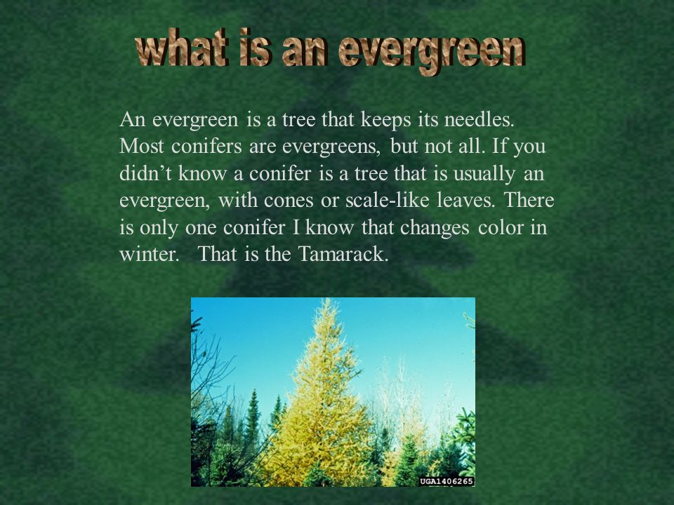 what is an evergreen