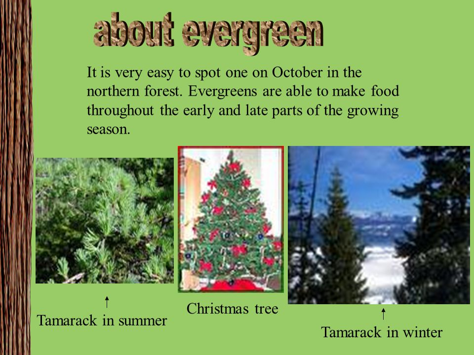 about evergreen