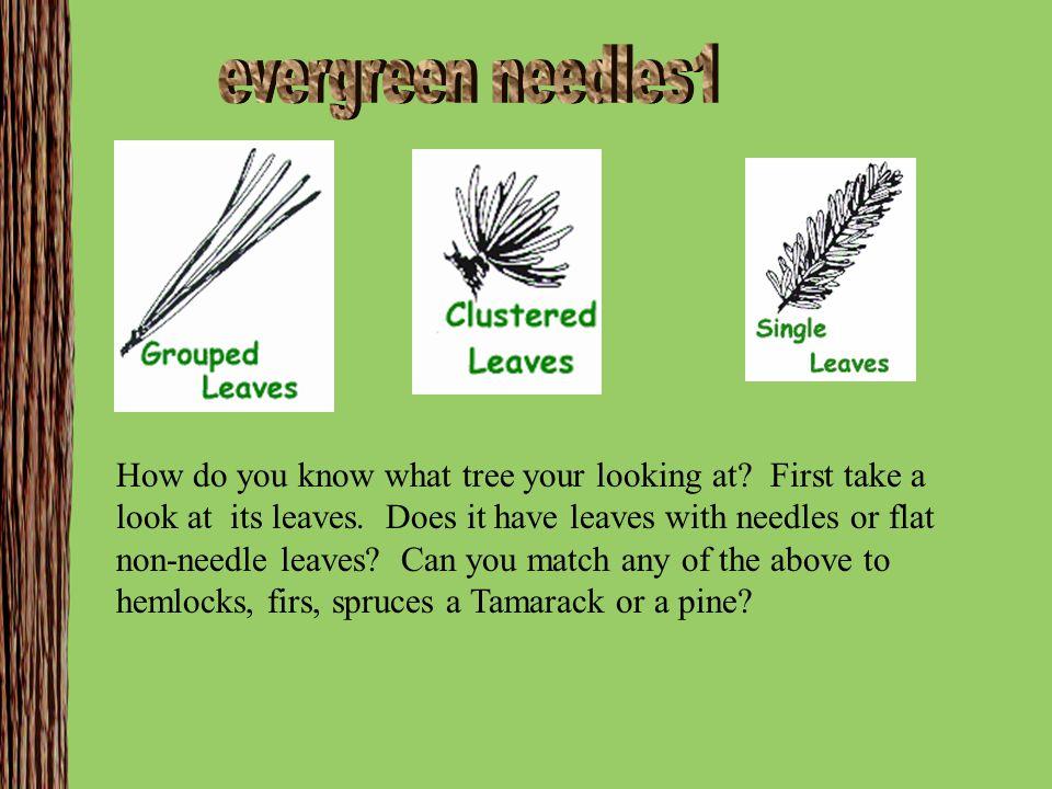 evergreen needles1