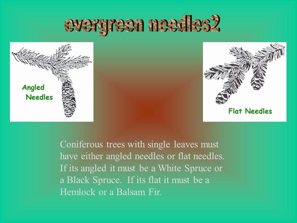evergreen needles2