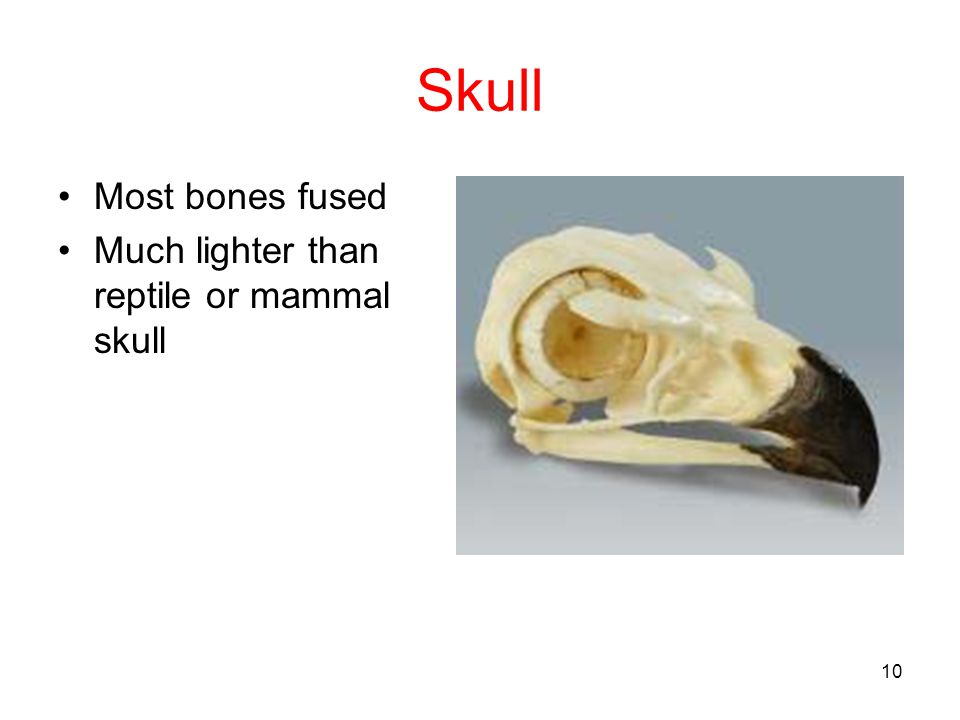 Skull Most bones fused Much lighter than reptile or mammal skull
