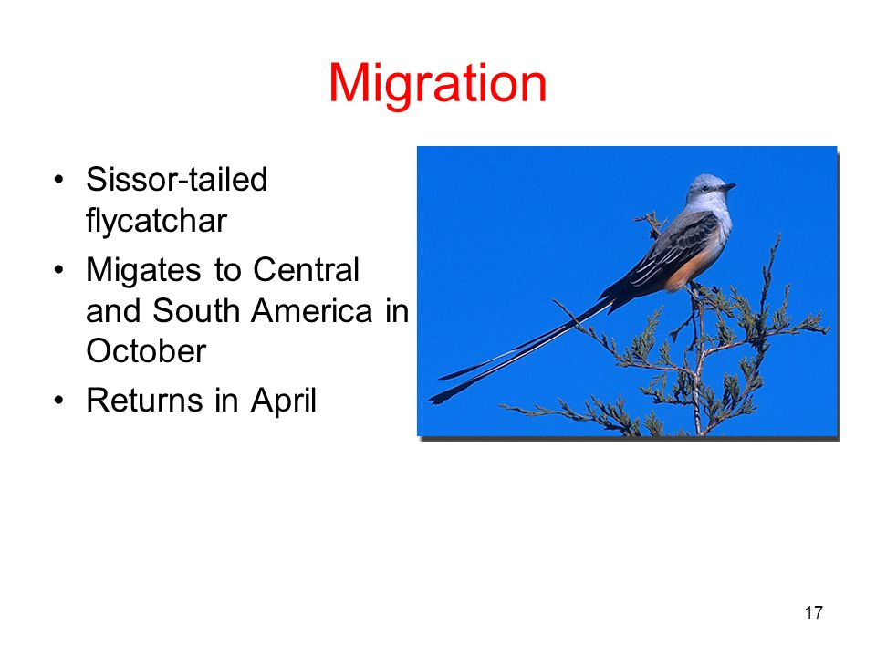 Migration Sissor-tailed flycatchar