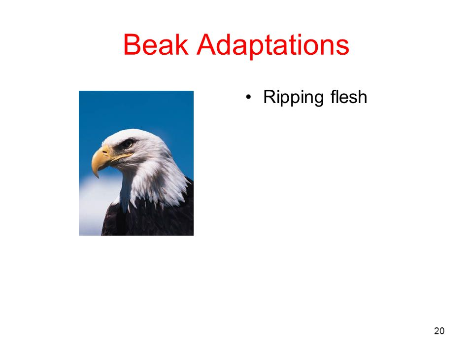 Beak Adaptations Ripping flesh