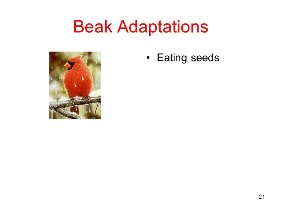 Beak Adaptations Eating seeds