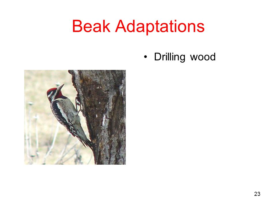 Beak Adaptations Drilling wood