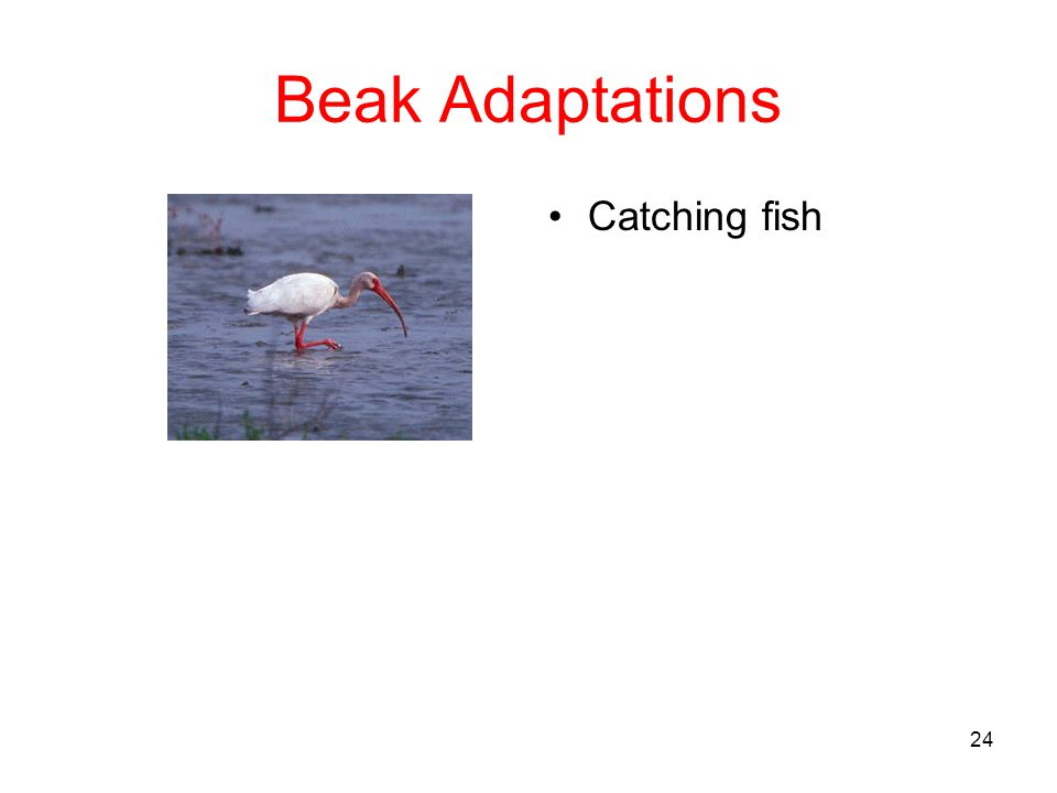 Beak Adaptations Catching fish