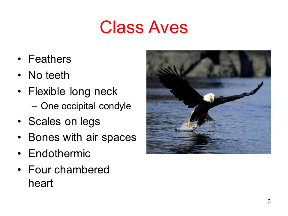 Class Aves Feathers No teeth Flexible long neck Scales on legs