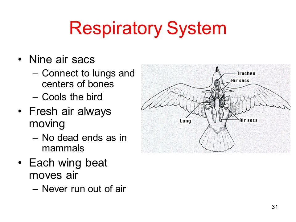 Respiratory System Nine air sacs Fresh air always moving