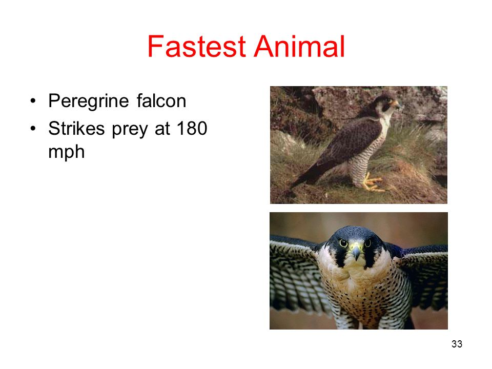 Fastest Animal Peregrine falcon Strikes prey at 180 mph