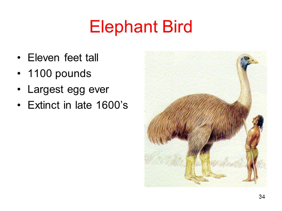 Elephant Bird Eleven feet tall 1100 pounds Largest egg ever