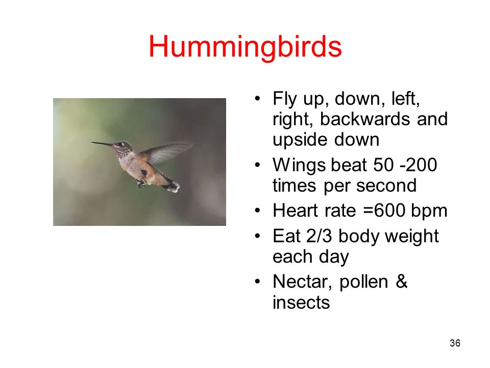 Hummingbirds Fly up, down, left, right, backwards and upside down