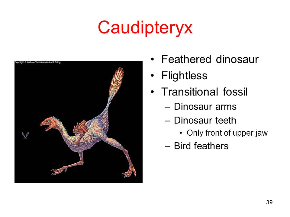 Caudipteryx Feathered dinosaur Flightless Transitional fossil