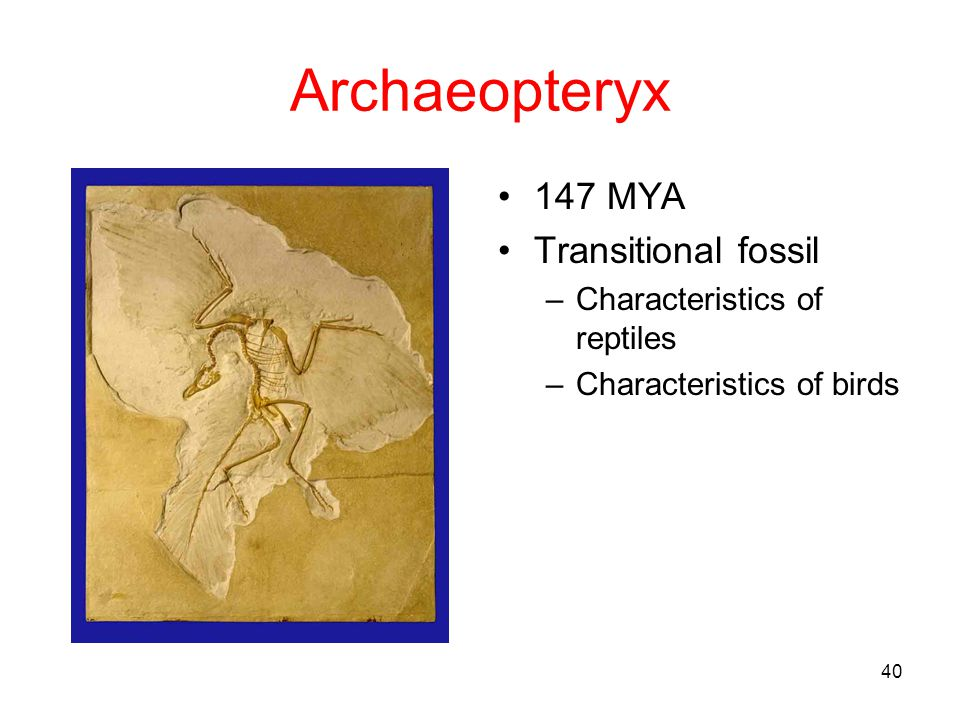 Archaeopteryx 147 MYA Transitional fossil Characteristics of reptiles