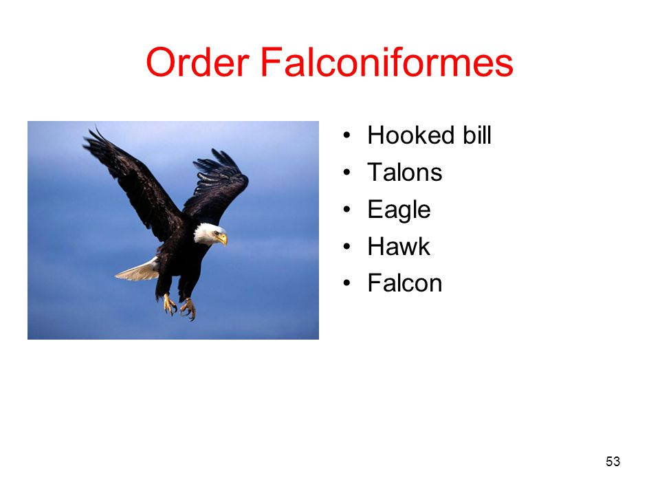 Order Falconiformes Hooked bill Talons Eagle Hawk Falcon