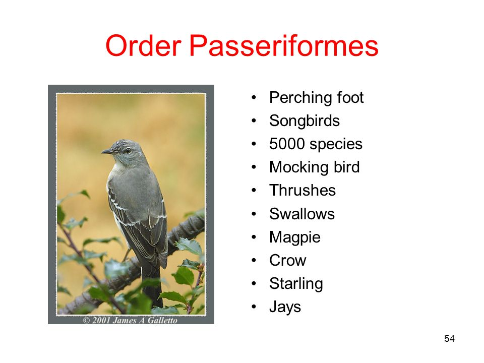 Order Passeriformes Perching foot Songbirds 5000 species Mocking bird