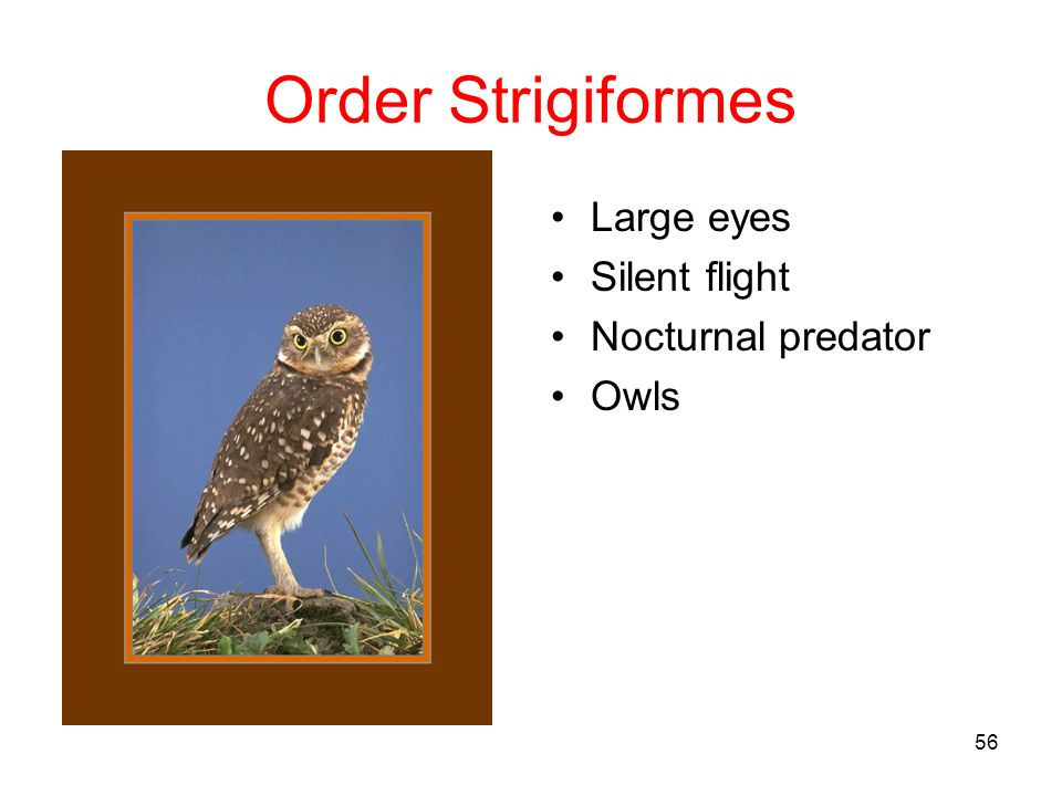 Order Strigiformes Large eyes Silent flight Nocturnal predator Owls