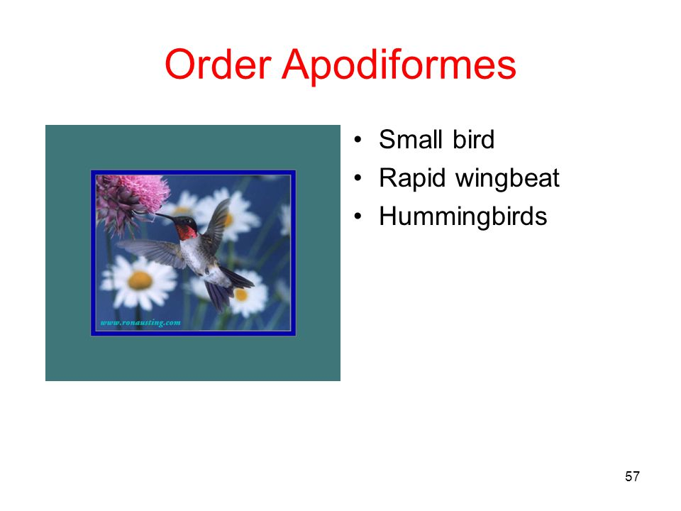 Order Apodiformes Small bird Rapid wingbeat Hummingbirds