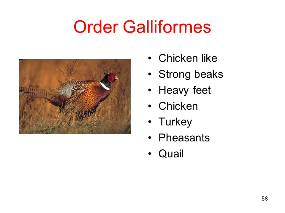 Order Galliformes Chicken like Strong beaks Heavy feet Chicken Turkey