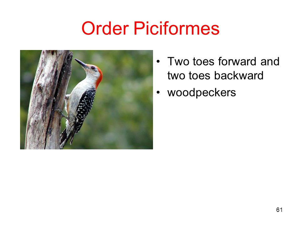 Order Piciformes Two toes forward and two toes backward woodpeckers