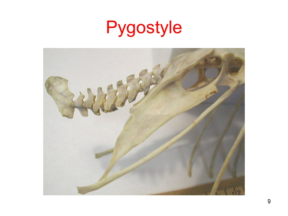 Pygostyle