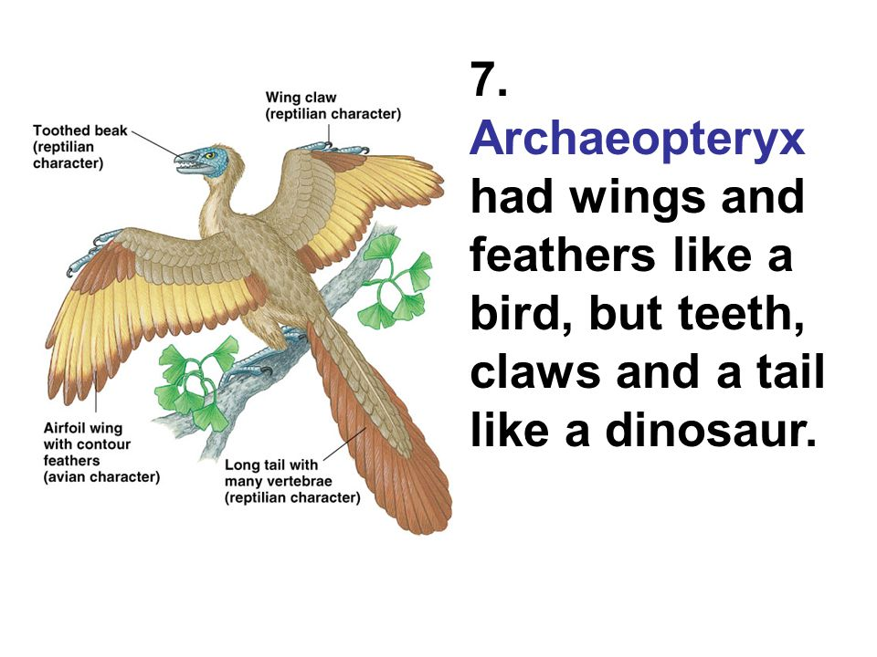 7. Archaeopteryx had wings and feathers like a bird, but teeth, claws and a tail like a dinosaur.