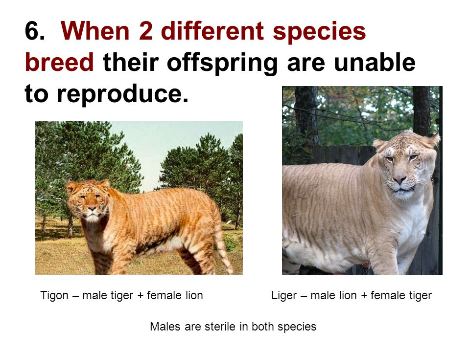 6. When 2 different species breed their offspring are unable to reproduce.