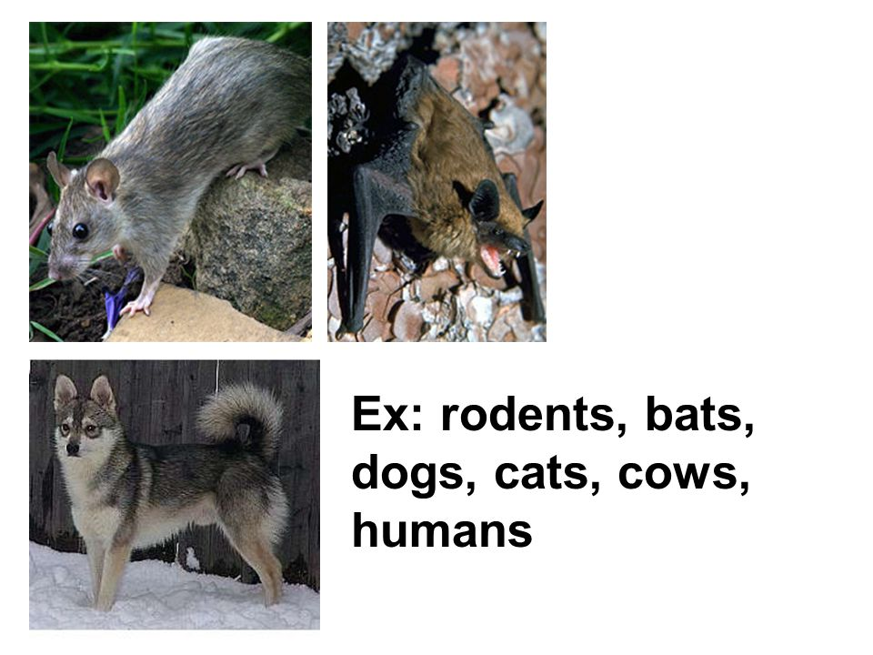 Ex: rodents, bats, dogs, cats, cows, humans