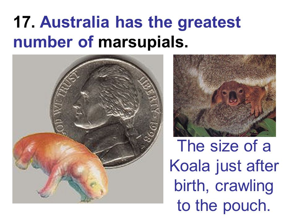 The size of a Koala just after birth, crawling to the pouch.