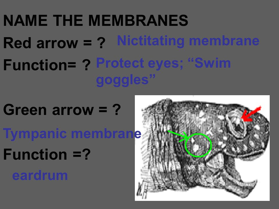 NAME THE MEMBRANES Red arrow = Function= Green arrow =