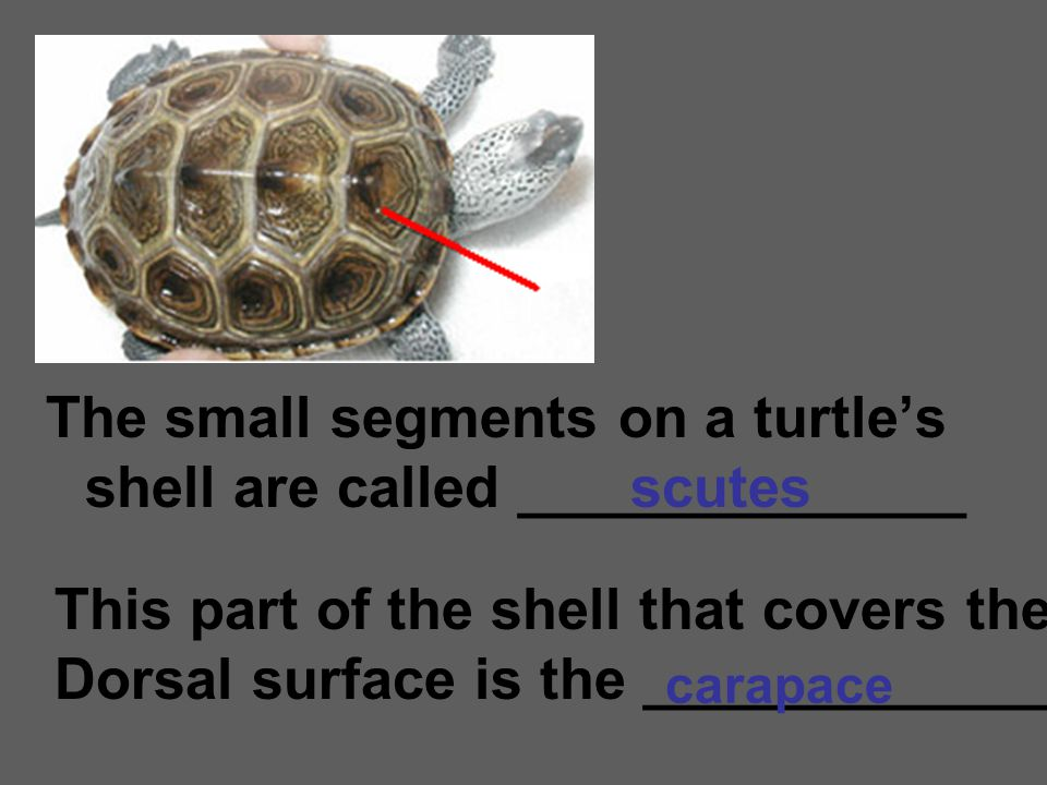 The small segments on a turtle's shell are called ______________