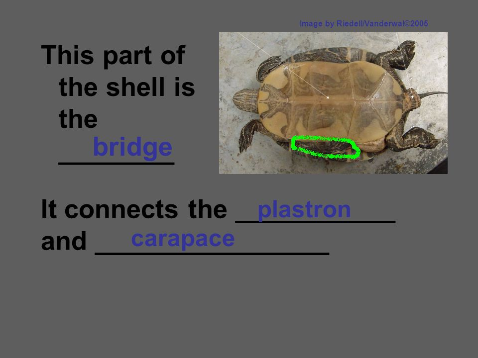 This part of the shell is the ________