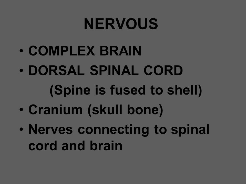 NERVOUS COMPLEX BRAIN DORSAL SPINAL CORD (Spine is fused to shell)