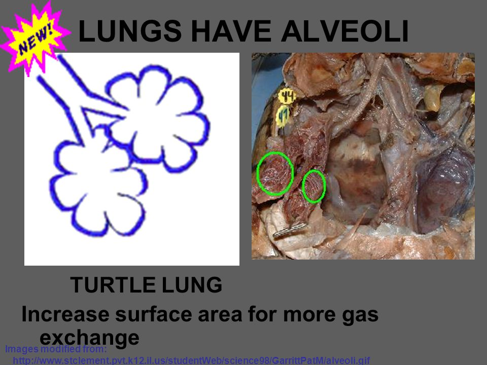 LUNGS HAVE ALVEOLI TURTLE LUNG