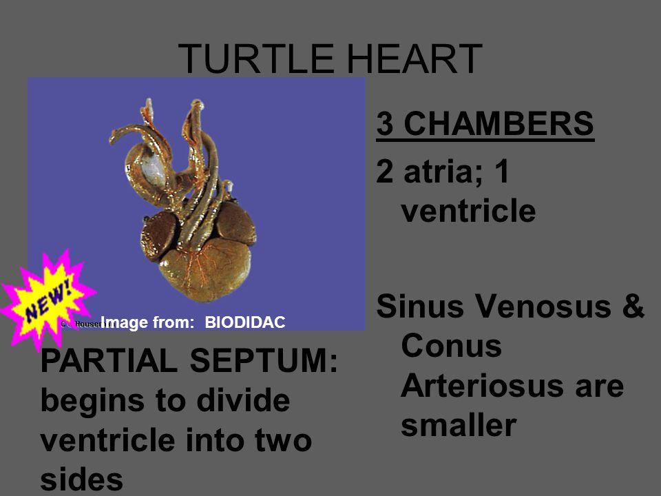TURTLE HEART 3 CHAMBERS 2 atria; 1 ventricle