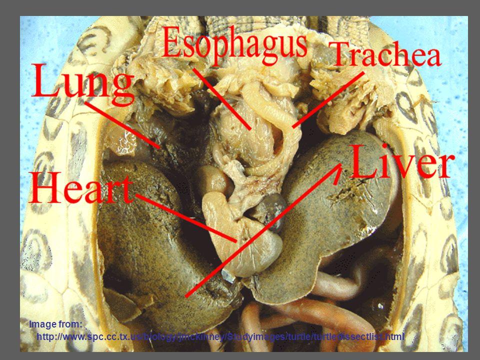 Image from: http://www.spc.cc.tx.us/biology/jmckinney/Studyimages/turtle/turtledissectlist.html