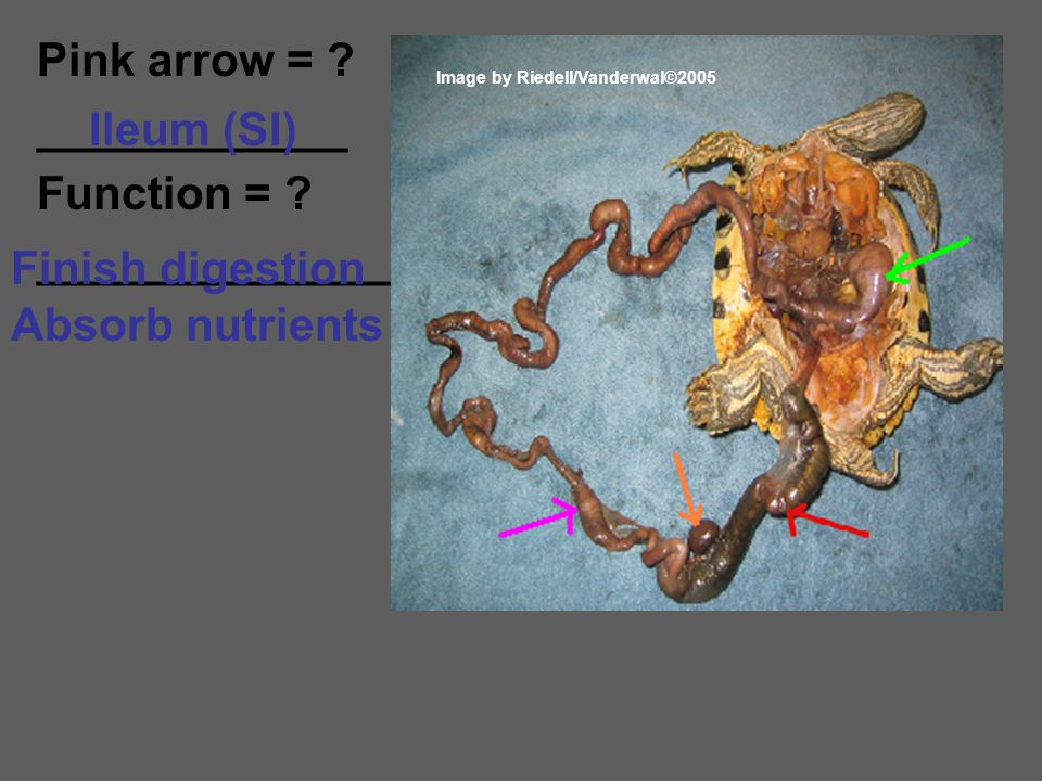 Pink arrow = ____________ Function = Ileum (SI) ______________