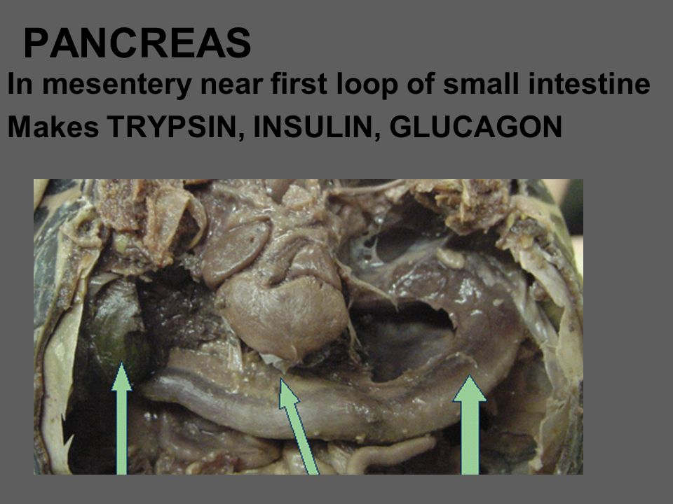 PANCREAS In mesentery near first loop of small intestine
