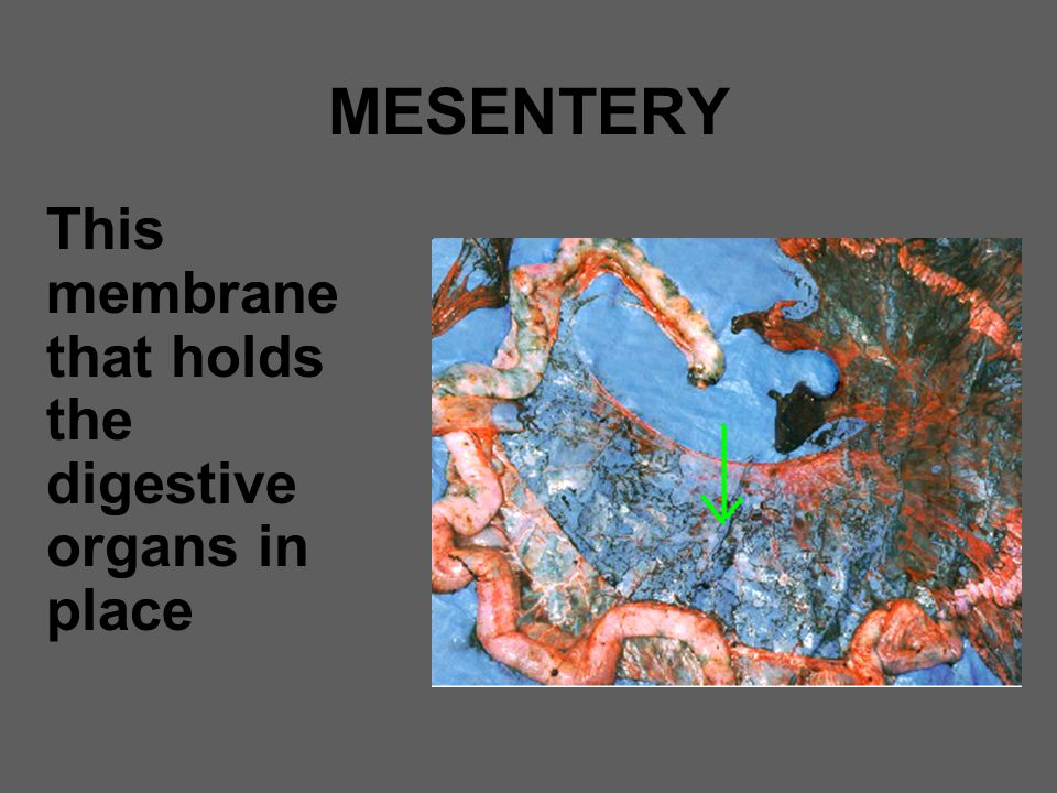 MESENTERY This membrane that holds the digestive organs in place