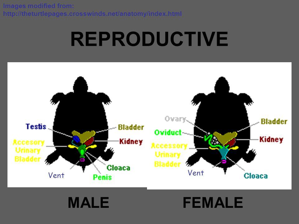 REPRODUCTIVE MALE FEMALE Vent Vent