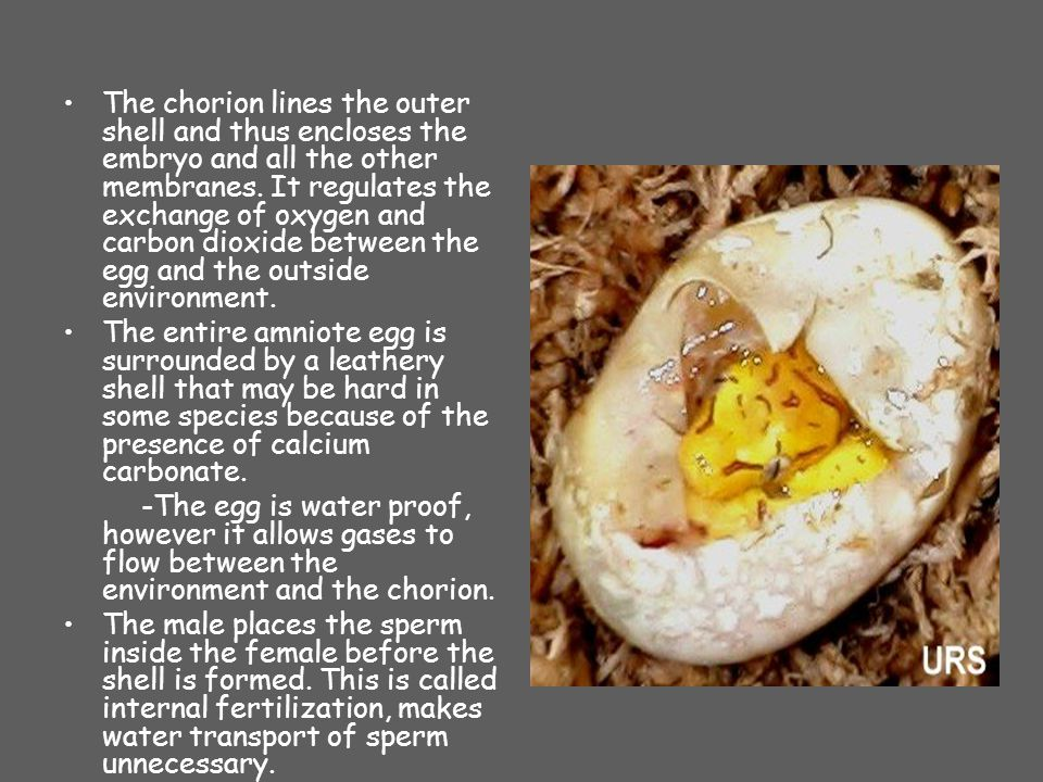 The chorion lines the outer shell and thus encloses the embryo and all the other membranes. It regulates the exchange of oxygen and carbon dioxide between the egg and the outside environment.
